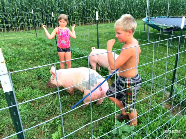 Beyer 4-H Pigs